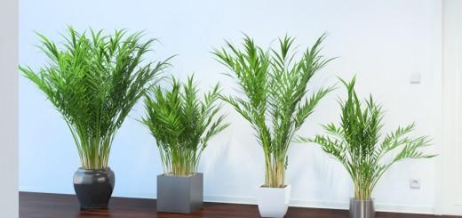 palmieri-areca